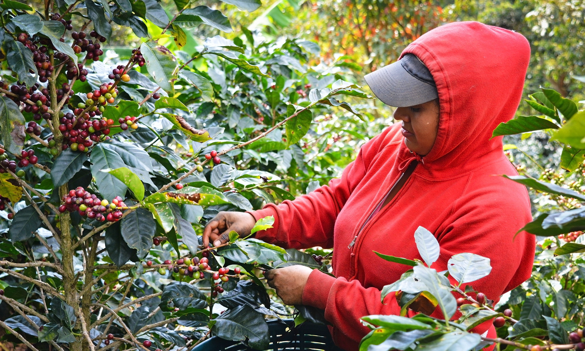 Cultivo Coffee Cherries Picked Cojedores Costa Rica Direct Trade