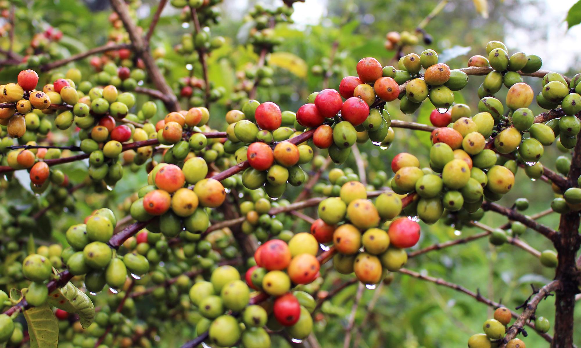 Cultivo coffee cherry
